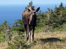 Moose in Cape Breton Island