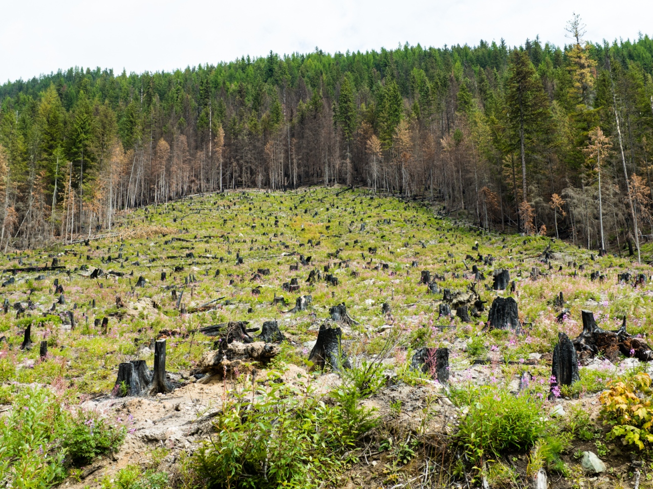 Remains of logging and fires.